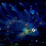 BALIハナミノカサゴの稚魚