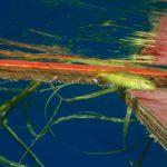 漂流物に棲む稚魚達