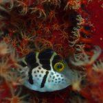 ノコギリハギの幼魚
